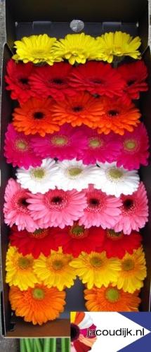 Gerbera mini 20 st ck bunt gemischt bl mchen floristik for Floristik versand