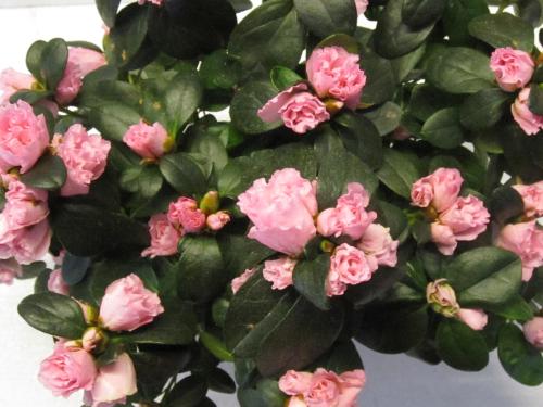 Azalee Rosa Grosse Pflanze Versand Fur Blumen Pflanzen Floristik