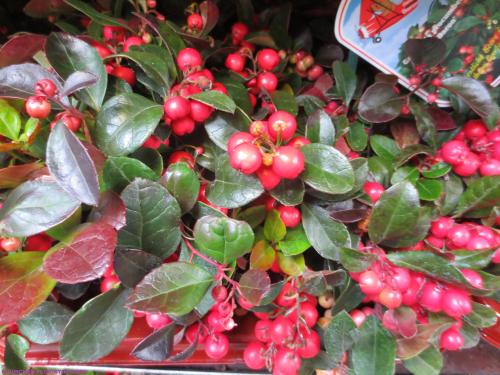 gaultheria mit roten beeren grosse pflanze versand f r blumen pflanzen floristik. Black Bedroom Furniture Sets. Home Design Ideas