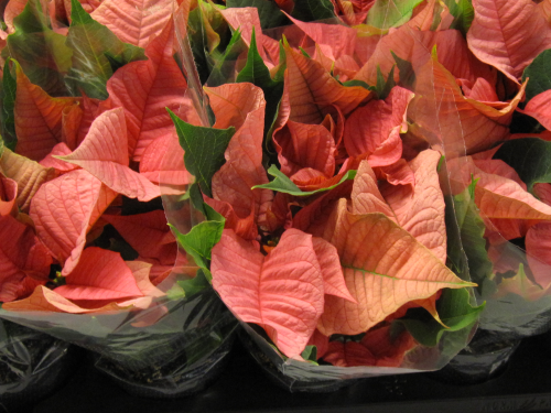 Euphorbia pulcherima weihnachtsstern midi apricot 4 6 for Floristik versand
