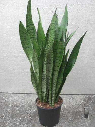 Sanseveria 60 70cm Hochgrünstarke Pflanzen Versand Für Blumen