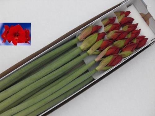 Amaryllis hippeastrum ritterstern rot 3 stiele a 4 bl ten - Weihnachts status ...