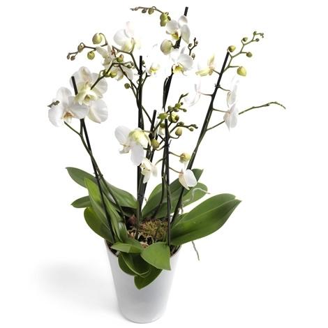 Orchidee Phlaenopsis Weiss Gross Mit Ubertopf Versand Fur Blumen