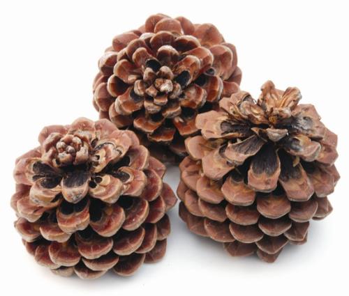 Zapfen pinus pinea gross natur 8 st ck versand f r for Floristik versand