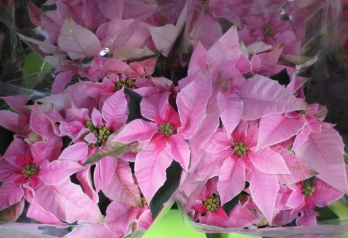 euphorbia pulcherrima weihnachtsstern princettia pink rosa. Black Bedroom Furniture Sets. Home Design Ideas