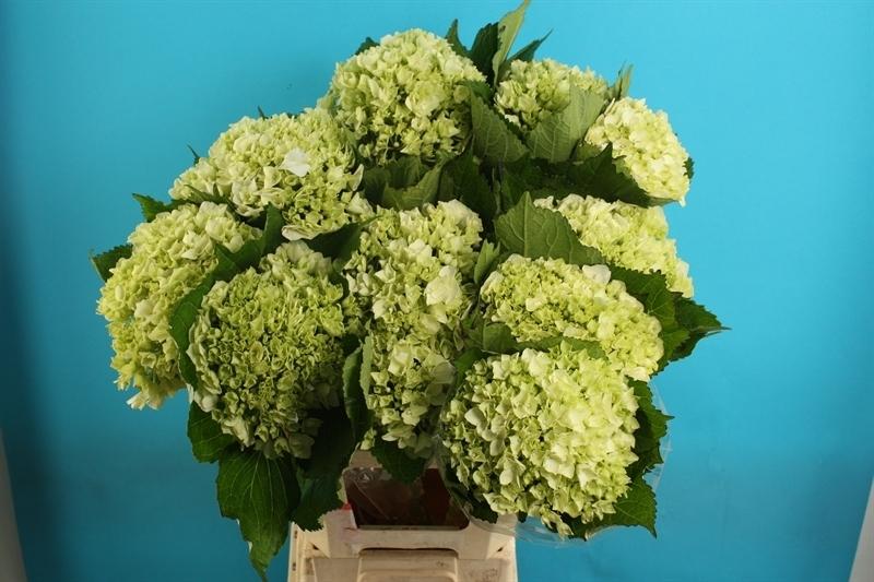 hortensie hydrangea gr n weiss 1 st ck lang schnittblume. Black Bedroom Furniture Sets. Home Design Ideas