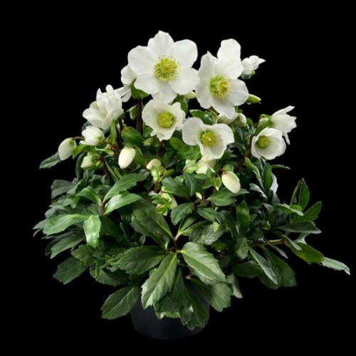 christrose helleborus solit r im topf versand f r blumen pflanzen floristik. Black Bedroom Furniture Sets. Home Design Ideas
