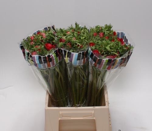 Anemonen rot 10 st ck bl mchen floristik versand f r blumen for Floristik versand