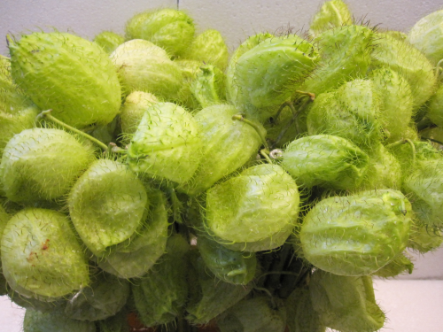 Ascclepias moby dick 10 st ck bundware bl mchen floristik for Floristik versand