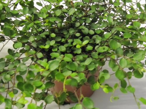Gr npflanzen f r den wohnbereich blumen pflanzen floristik for Kleine zimmerpflanzen