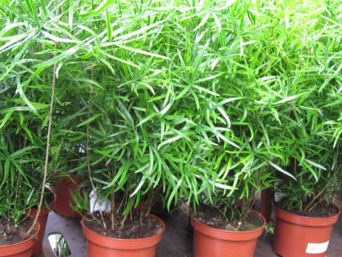 asparagus falcatus versand f r blumen pflanzen floristik. Black Bedroom Furniture Sets. Home Design Ideas