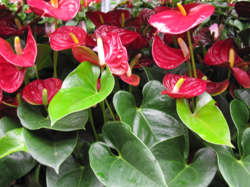 Anthurium andreanum rot bl hend im topf versand f r blumen for Zimmerpflanzen versand
