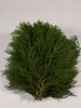 Adventgrün,Cryptomeria, Bund ,300 gr