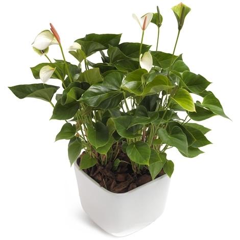 anthurie weiss gross mit bertopf bl mchen floristik versand. Black Bedroom Furniture Sets. Home Design Ideas
