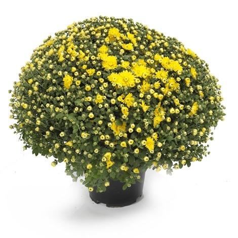 chrysanthemen kugel im topf gelb versand f r blumen pflanzen. Black Bedroom Furniture Sets. Home Design Ideas