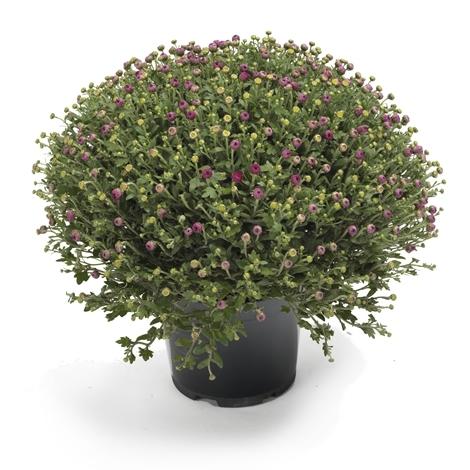 chrysanthemen kugel im topf rosa versand f r blumen pflanzen. Black Bedroom Furniture Sets. Home Design Ideas
