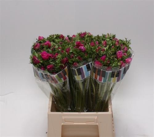 Anemonen pink rosa 10 st ck bl mchen floristik versand for Floristik versand