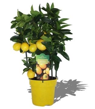 Citrus pflanze limonella bl mchen floristik versand for Floristik versand