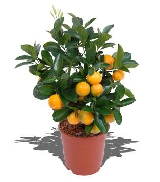 Citrus-Pflanze,Calamondin (citrus madurensis)