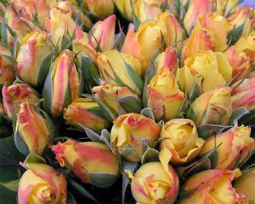 Rosen freilandrosen bl mchen floristik versand f r blumen for Floristik versand