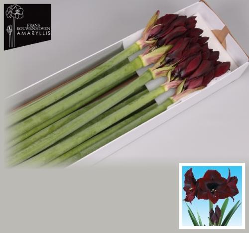 amaryllis hippeastrum ritterstern dunkelrot 3 stiele a 4. Black Bedroom Furniture Sets. Home Design Ideas