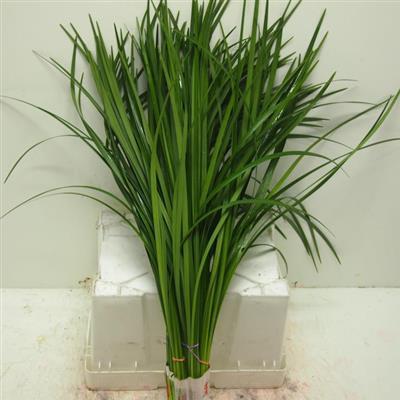 Lilly gras 1 bund bl mchen floristik versand f r for Floristik versand
