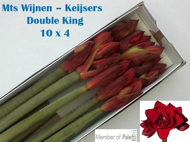 Hippeastrum_Double_King